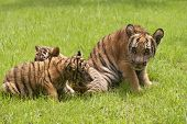 pic of cute tiger  - Baby Indochinese tigers play on the grass - JPG