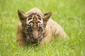 image of tiger cub  - Baby Indochinese tiger plays on the grass - JPG