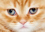 image of portrait british shorthair cat  - closeup muzzle of british shorthair red kitten cat - JPG
