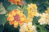 pic of lantana  - Cloth of gold or Lantana camara flower vintage - JPG