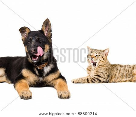 Portrait of a German Shepherd puppy and cat Scottish Straight licking together