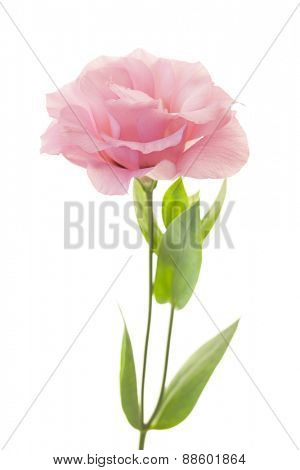 Fresh pink rose flower isolated on white