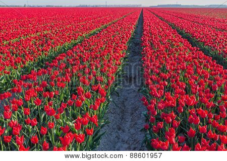 Red Flowering Tulips In Long Rows In The Field
