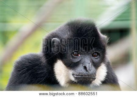 Sad Gibbon