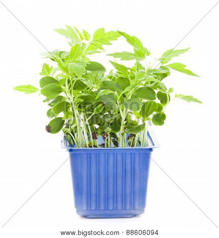 Seedlings In Flower Pot