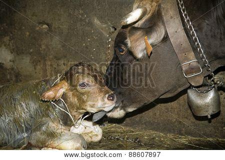 A Newborn Calf From A Few Minutes