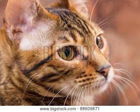 Portrait Of Brown Mackerel Tabby Cat