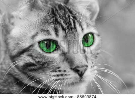 Portrait Of Tabby Cat In Black And White With Green Eyes