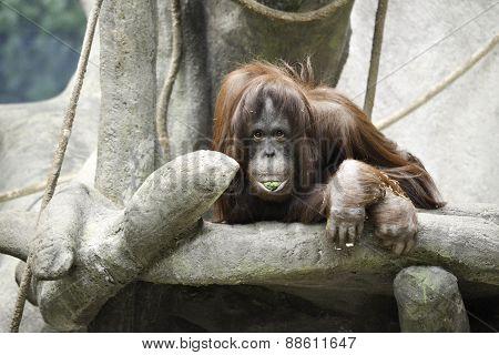 Food Faced Orangutan