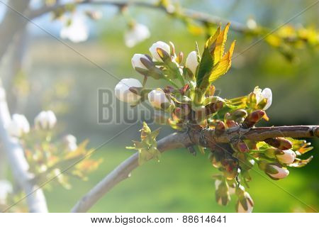 Branch With Flowers, Branch With Flowers On Apple Tree