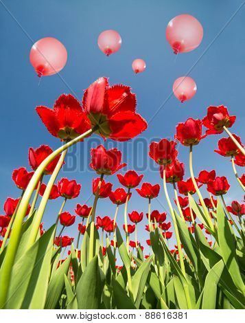 red tulip flowers growing to blue sky