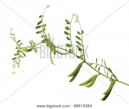 pea pods and green stem isolated on white background