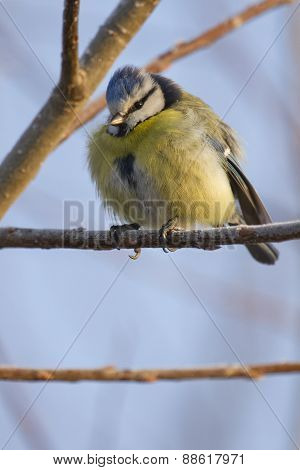 Tit On Branch