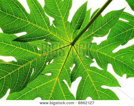 green leaf isolate on white background / papaya leaf