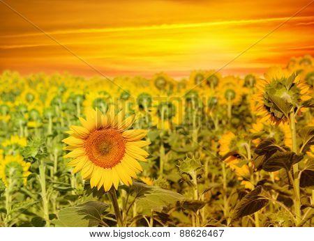Vintage sunflower field on sunset