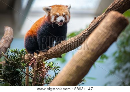 Red Panda sitting on a branch of a tree
