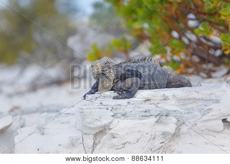 Cuban Iguana, wildlife. Cayo Largo
