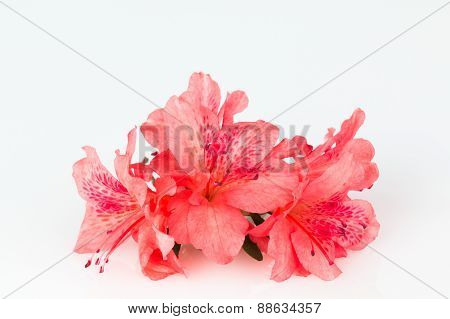 Orange-red Azalea Flowers