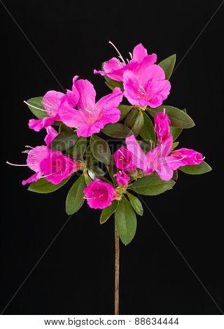 Deep Pink Azalea Flowers