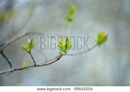 first spring buds