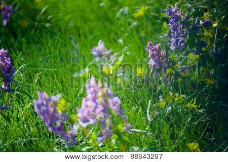 Violet  Flowers Green Summer Grass