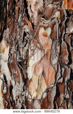 Pine tree bark texture, close-up