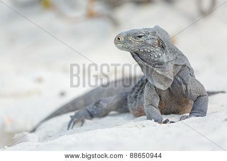 Island iguanas in wildlife.