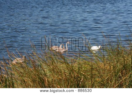 Hungry Swan Family