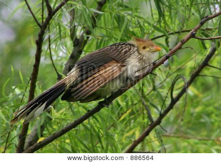 South American Cuckoo