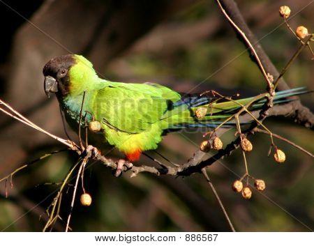 Black Hooded Parakeeet