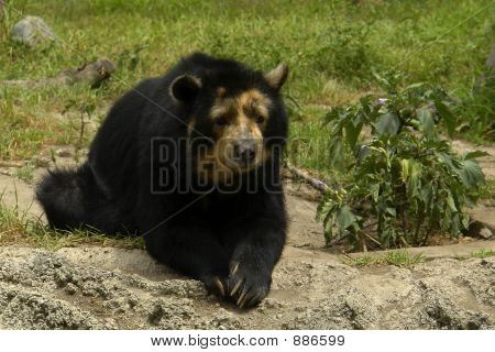 The Ecuadorian Black Bear