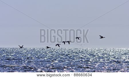 Goo-sanders, merganser in silhouettes above the sea.