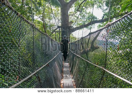 Resort Guest Walking On A Canopy Walk Built Between Tualang Tree In Tuaran, Sabah. Tualang Is A Stro
