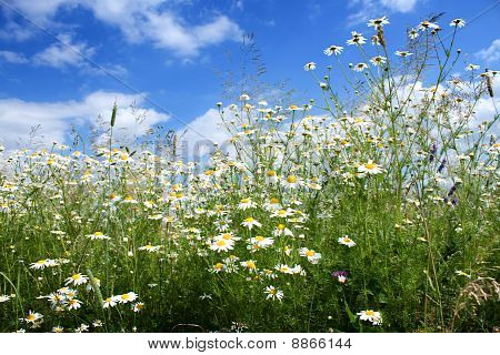 Marguerite Daisy Flowers