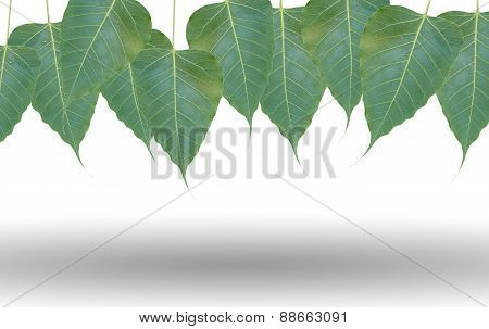 Green Leafs On White Background With Shadow Under
