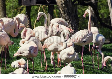 Group Of Greater Flamingos (phoenicopterus Ruber Roseus) In Outdoors