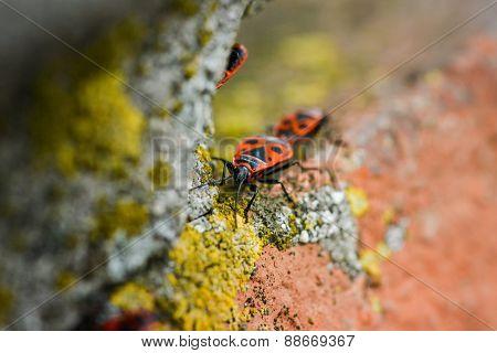 Firebugs - Pyrrhocoris Apterus On Rocky Background