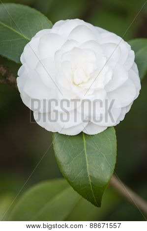 White Camelia Flower In Full Bloom