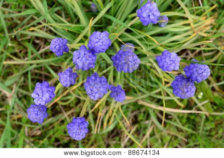 Grape Hyacinth Flowers From Above