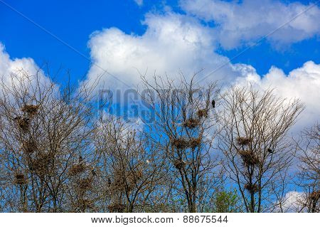 Many Nests Of A Colony Of Rooks Or Crows In Grove