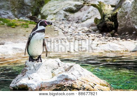 The Humboldt or Peruvian Penguin