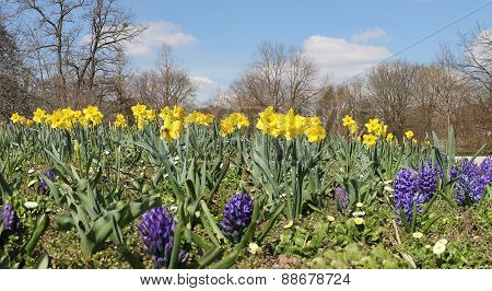 Daffodils And Hyacinth Flowerbed In The Park