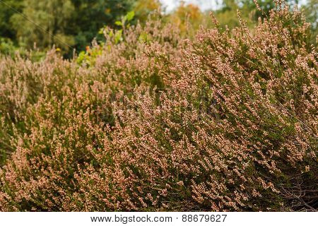 Heath In Autumn Sun After Blooming