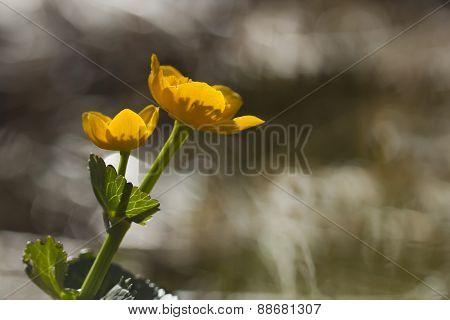 Caltha palustris, marsh-marigold or kingcup in the morning, Vosges, France