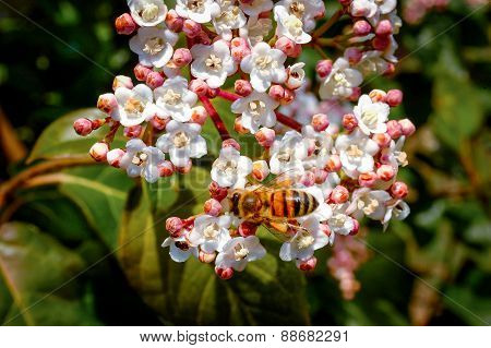 Bee On Tree Flowers