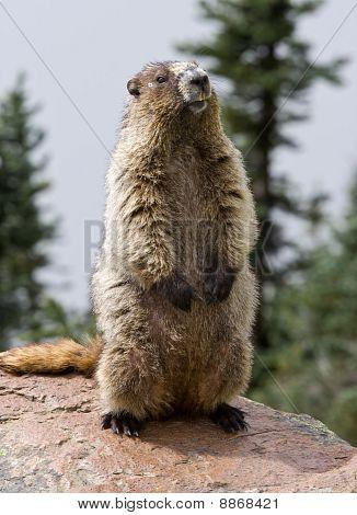 Standing Hoary Marmot