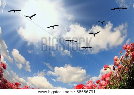Flock of cranes flying over flowering field. Blooming red and yellow buttercups in spring