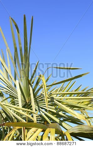 Lush Green Palm With Leaves And The Blue Sky
