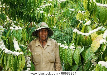 Asian Farmer, Coffee Tree, Coffee Plantation