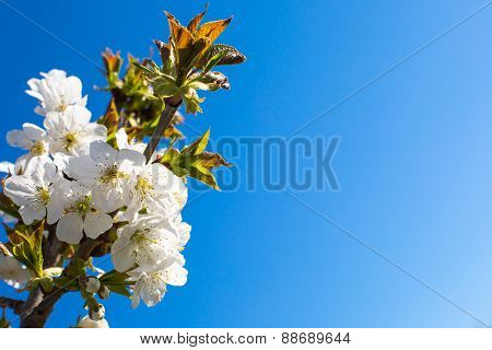 Background with the branch of Apple blossoms, on  blue sky background